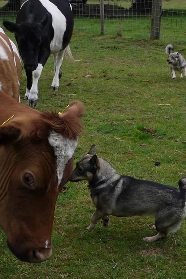 cattleherding