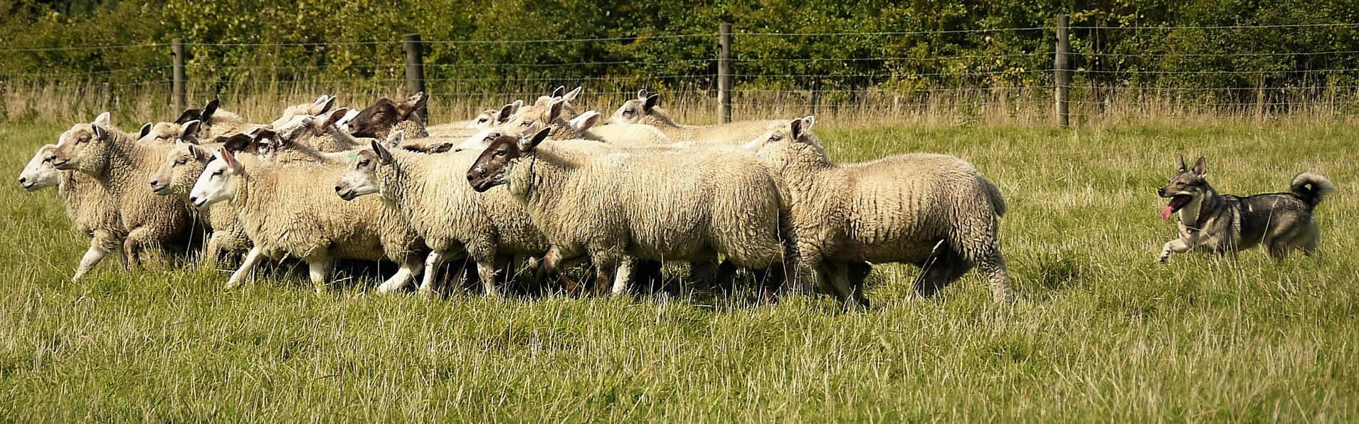herding5