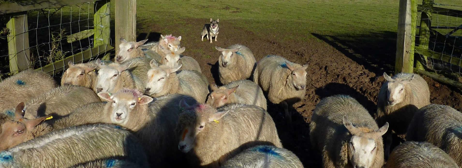 herding6