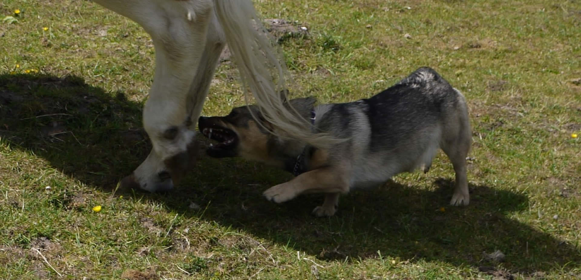 Vallhunds Herding Cattle